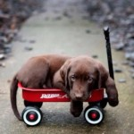 puppy in wagon lynnwood